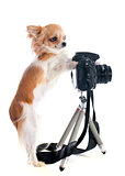 chihuahua and camera