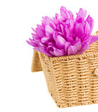basket with meadow saffron flowers