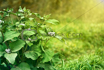 green bush agrimony in grass