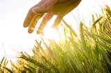 Hand over wheat field