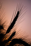 Wheat ears silhouette