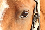 detail of horse eye