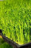 Seedling germination