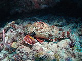 Spotted Scorpion Fish
