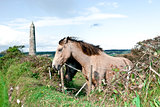 pair of beautiful Irish horses and ancient round tower