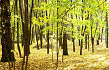 Sunny autumn golden forest in october