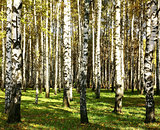 Beautiful sunlight autumn birch grove in the evening