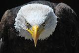 Royal eagle bird