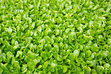 fresh green cress