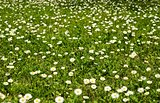 Meadow of daisies.