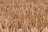 Ears of ripe wheat