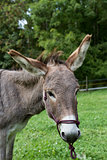 head of single brown donkey outdoors