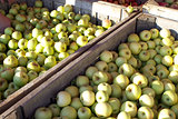 Green Apples Harvest