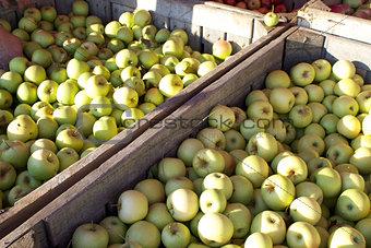 Green Apples Harvest
