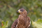 Honey Buzzard Portrait