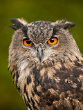 Portrait of a Eurasian Eagle-Owl (bobu bubo)