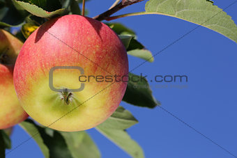 Apples on an apple tree against a blue sky