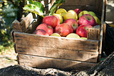 Apples in an old wooden crate on tree