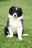 Gorgeous puppy of border collie sitting