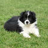 Beautiful border collie puppy lying
