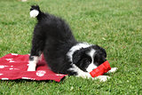 Gorgeous border collie puppy playing