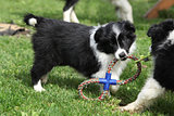 Adorable border collie puppies playing
