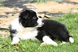 Adorable border collie lying