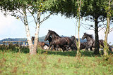 Beautiful black horses running