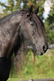 Beautiful friesian horse wit long mane