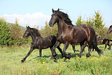 Mare with foal running in autumn