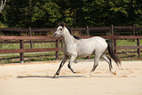 Gorgeous grey stallion running