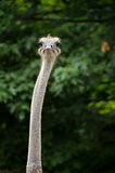 Closeup of an Ostrich, Struthio camelus