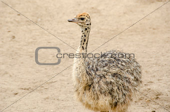 Small cute baby ostrich