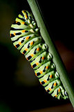 caterpillar of a