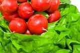 Fresh red radish on the green lettuce