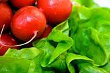 Fresh red radish on green lettuce