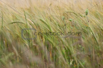cereal crop is growing