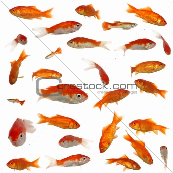 Many goldfish