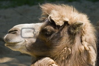 Camel head profile