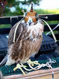Falcon That Scares Me