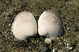 Two Clam Shells