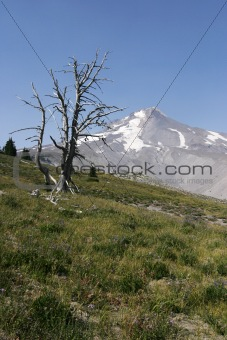 Dead Tree On Mt Hood