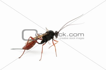 Ichneumonid wasp