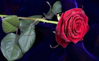 Red rose on blue velvet