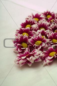 Valentine daisy flowers