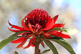 NSW Waratah flower