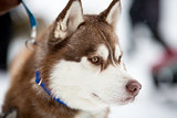 Siberian husky sled dog portrait