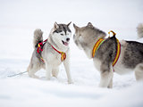 Two playing siberian husky dogs outdoor