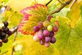 Wine Grapes on Vine Closeup