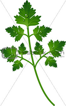 Branch of parsley